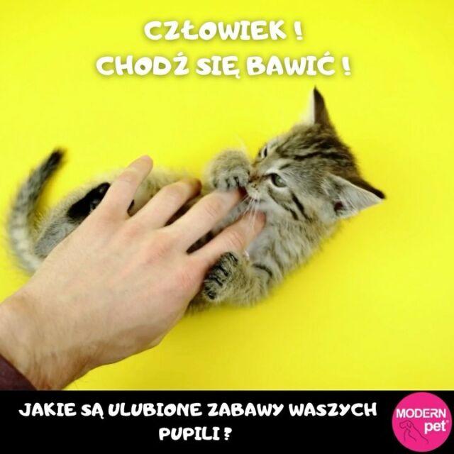 Cześć Kotomaniacy!   Jakie są Wasze ulubione zabawy zWaszymi pociechami?   Zwykłe głaskanie czyWasze koty wolą łamigłówki znagrodami?   Dajcie nam znać!   Więcej info onas poniżej:  https://sklep.modernpet.pl/ https://powerofnature.pl/ https://karmazealandia.pl/  #HealthyPet #pets #cats #modernpet #kitty